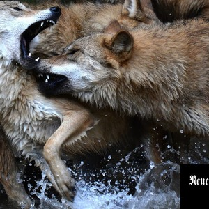 Man is a wolf to man - and the zoo breaks a spear for wolves in Switzerland