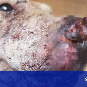 Man trained his dogs to violently bait wild animals