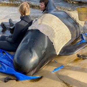 Rescue mission to save whales stranded on Tasmania's west coast enters second day