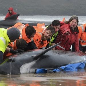 Record whale stranding in Australia