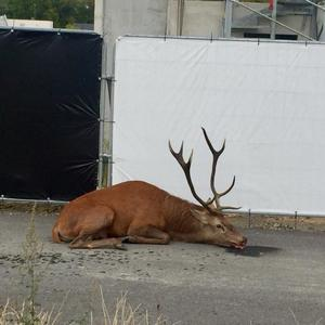 A stalked and exhausted deer takes refuge on a building site in the city after a hunt with hounds in France
