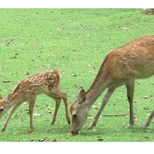 The deer of Nara park are feral due to the lack of tourists