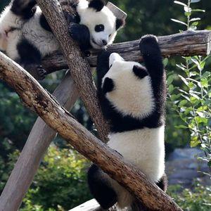 Berlin zoo's twin panda cubs celebrate 1st birthday
